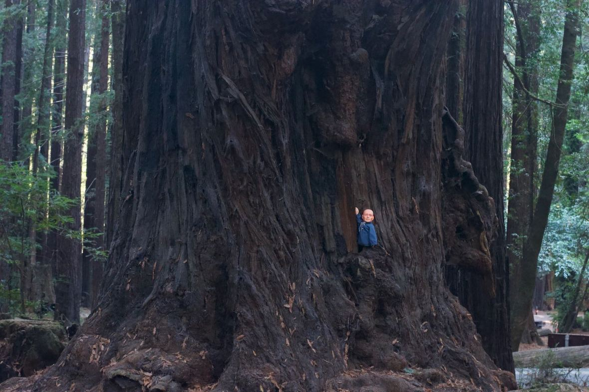 Hugo Man of a Thousand Faces cozies up to an ancient redwood tree in Burlington campground in Humboldt Redwoods State Park