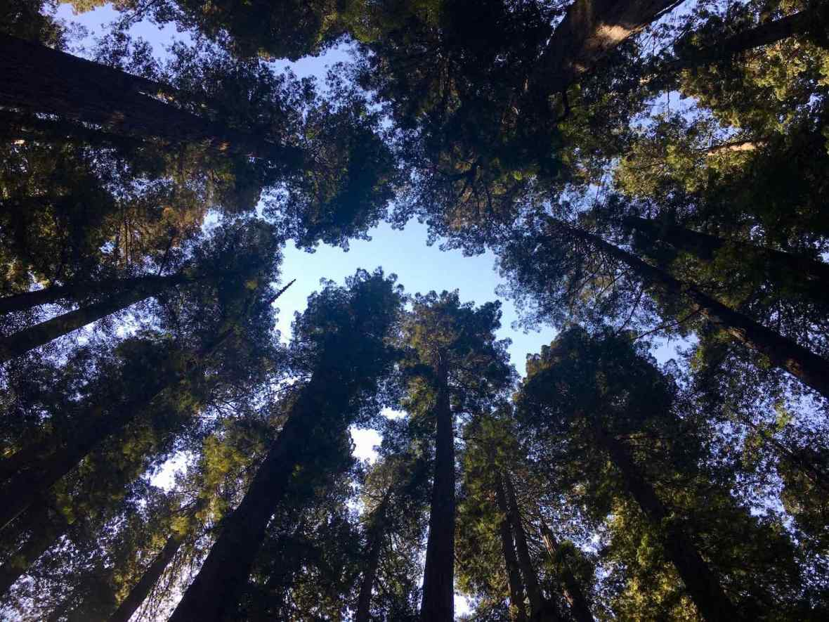 Towering old growth redwoods at Jedediah Smith Redwoods State Park