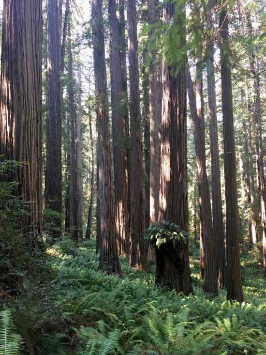 Towering old growth redwoods and fern groves at Jedediah Smith Redwoods State Park