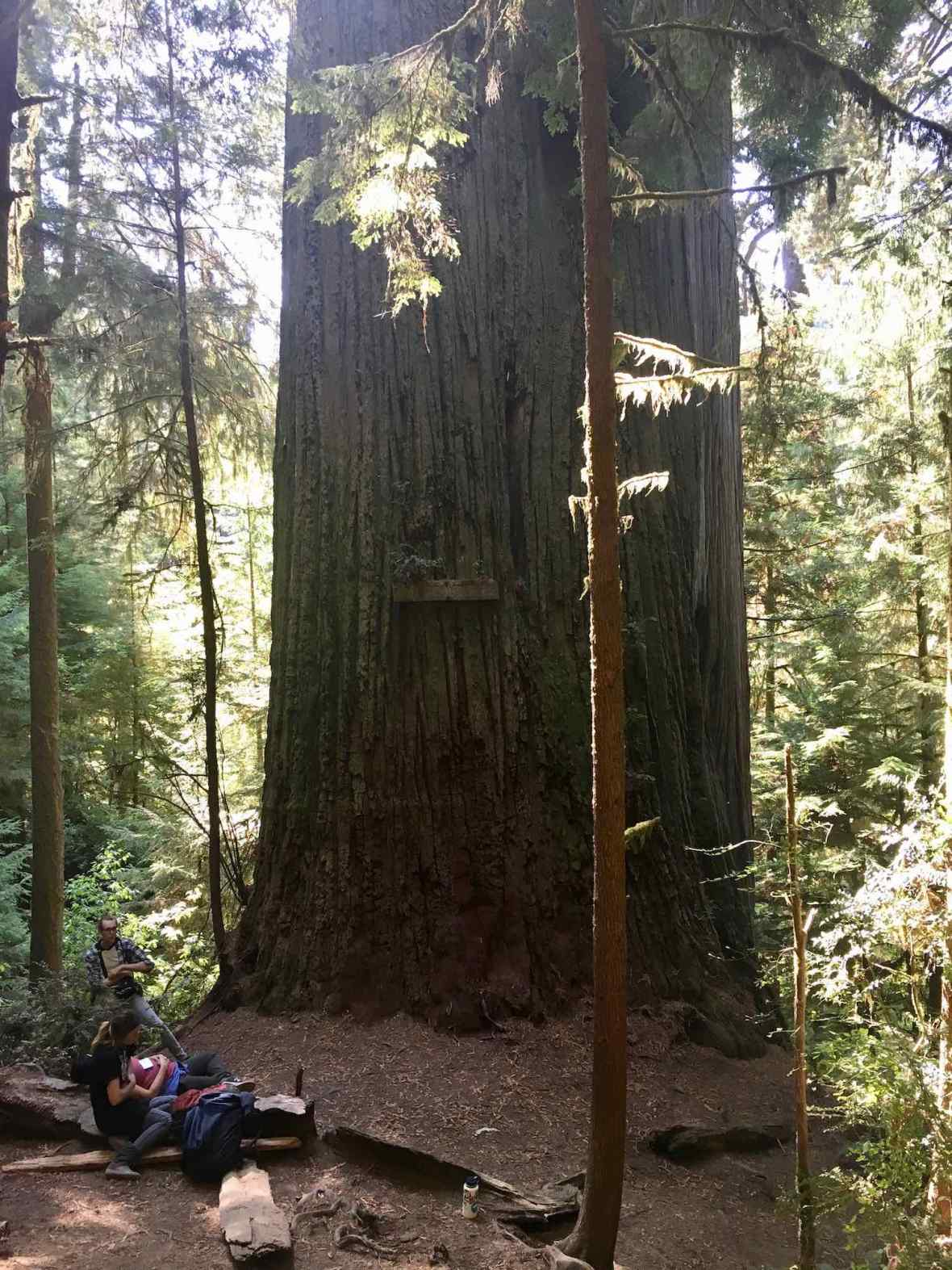 Boy Scout Tree at Jedediah Smith Redwoods State Park