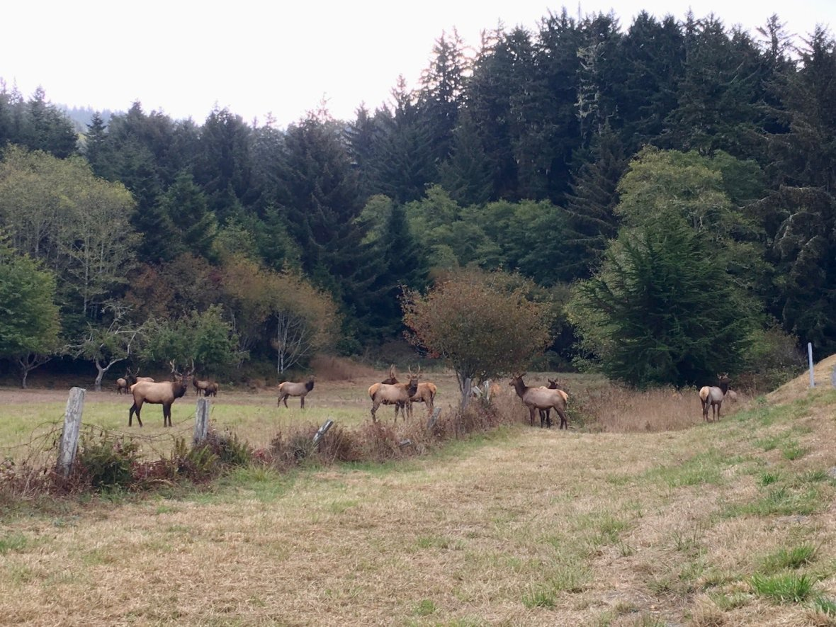 Roosevelt Elk herd grazing in Crescent City, California