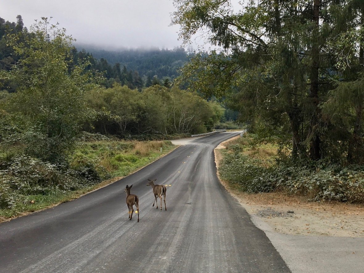 Black-tailed deer in Elk Meadow area of Prairie Creek Redwoods State Park