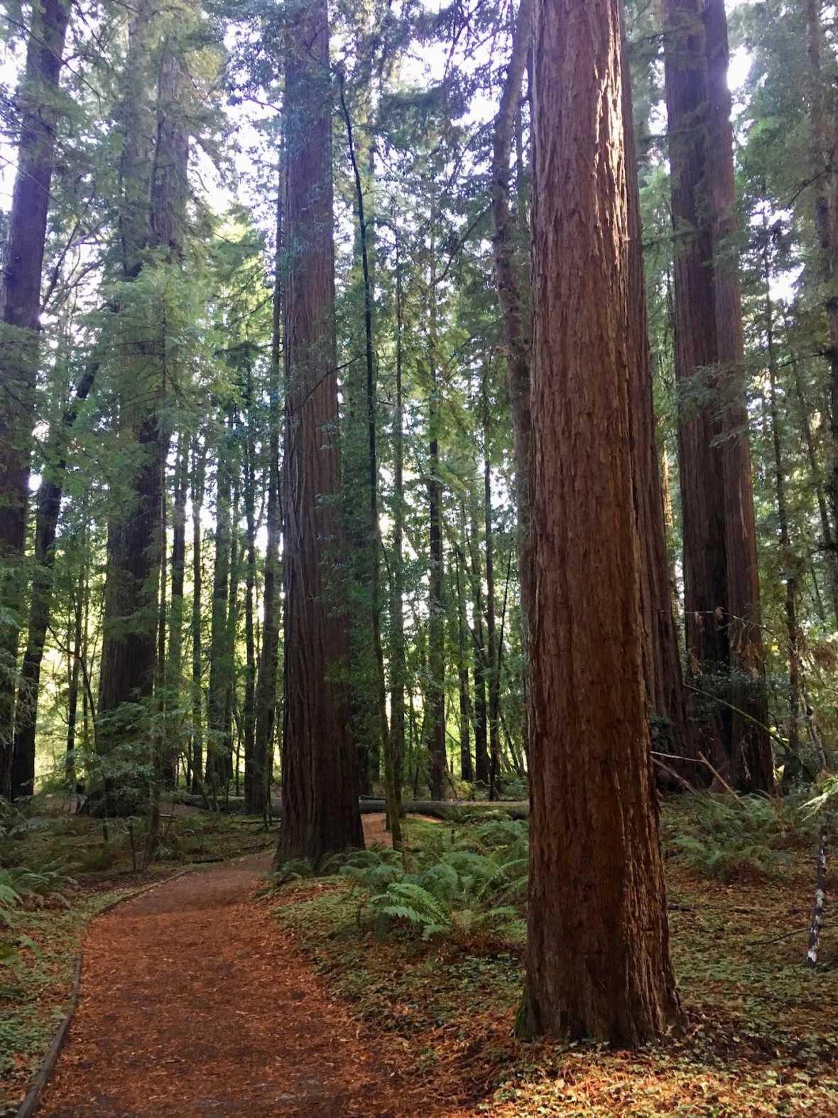 Big Hendy Redwoods Grove at California's Hendy Woods State Park