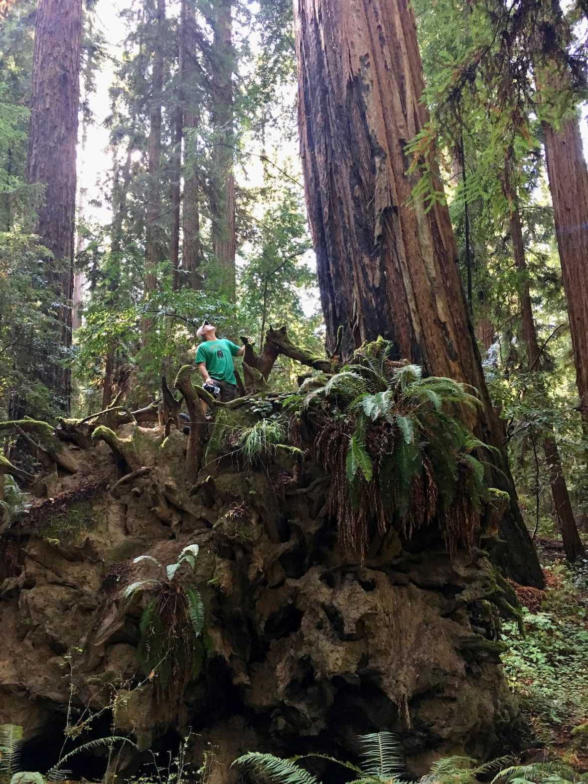 Fallen redwood tree in Big Hendy Grove at California's Hendy Woods State Park