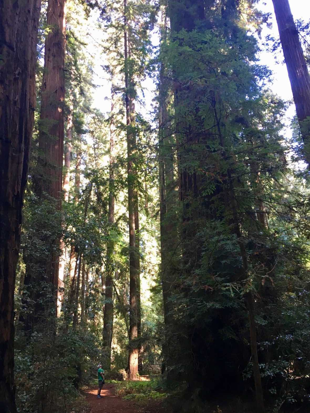 Giant redwoods in Big Hendy Grove virgin forest in California's Hendy Woods State Park