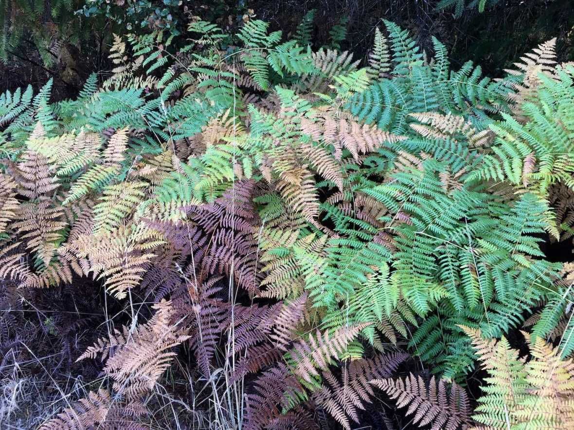 Early autumn fern color in California's Hendy Woods State Park