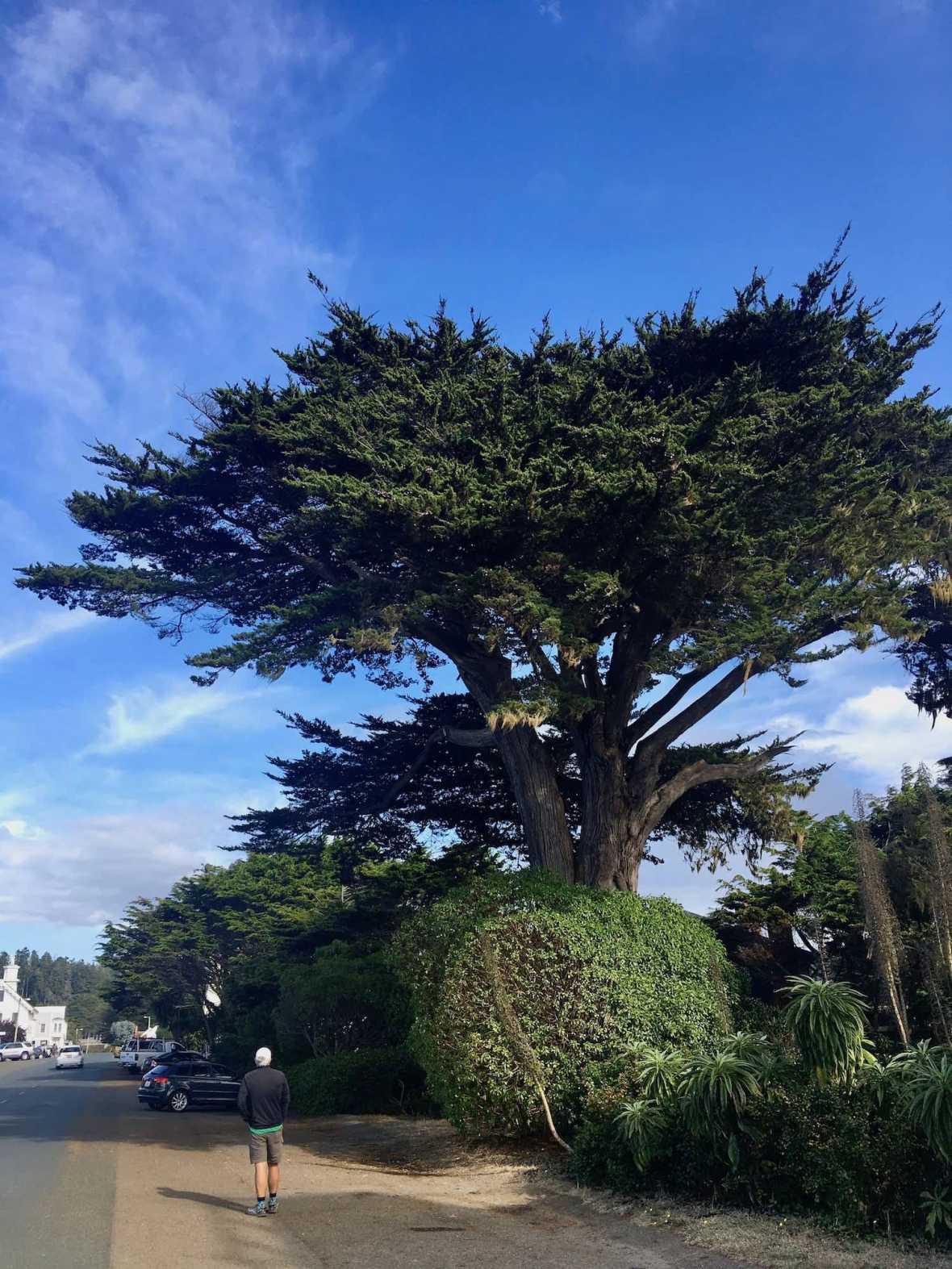 Tree in Mendocino, California