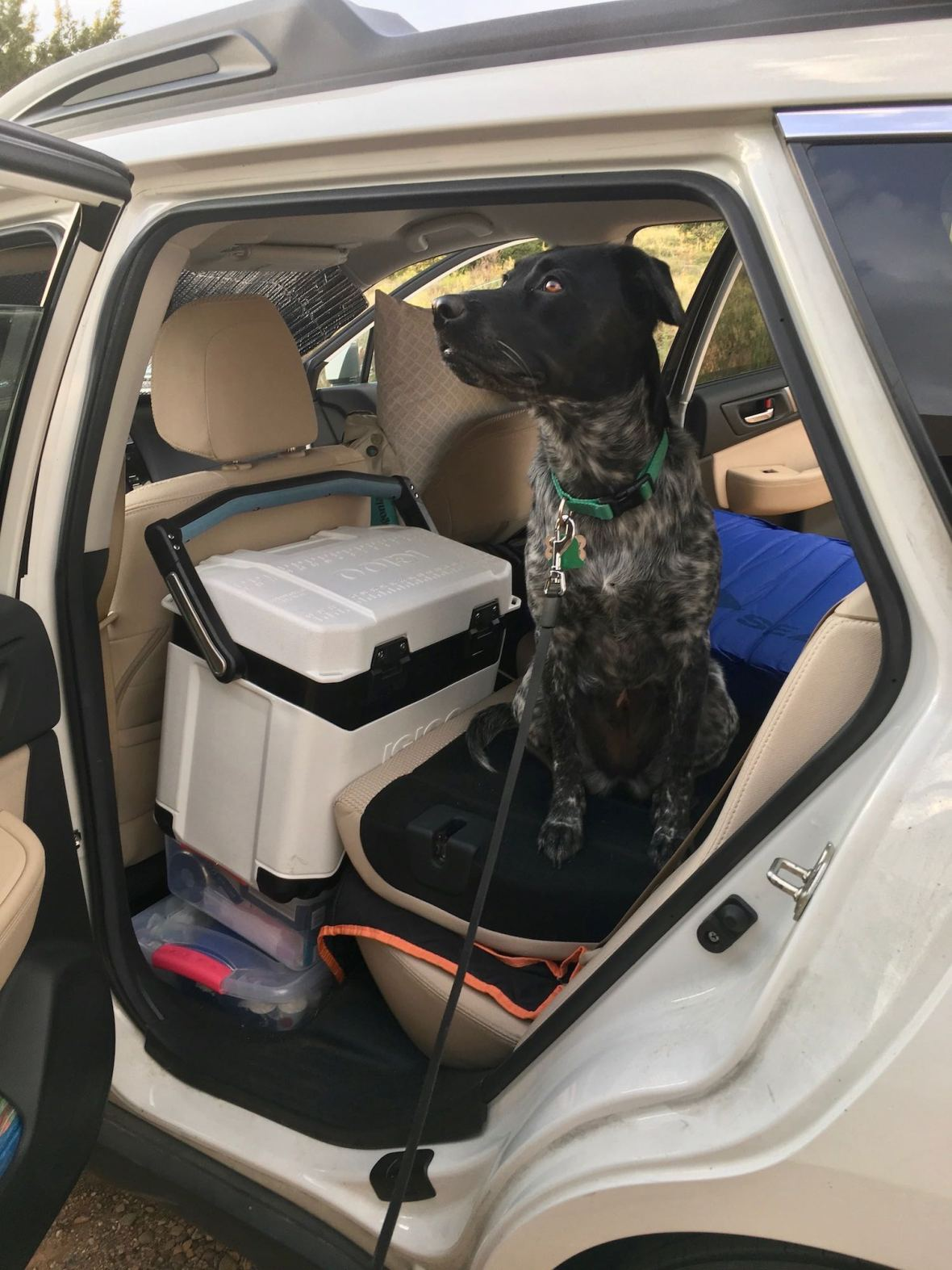 Juniper in the Subaru, ready to go