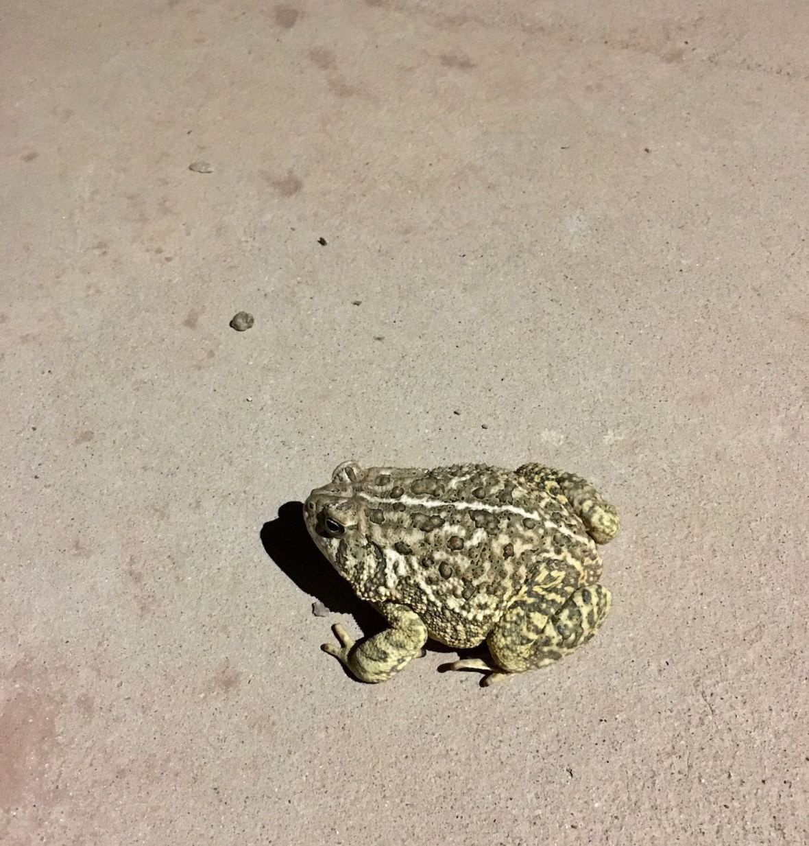 Toad at Conchas Lake State Park, New Mexico
