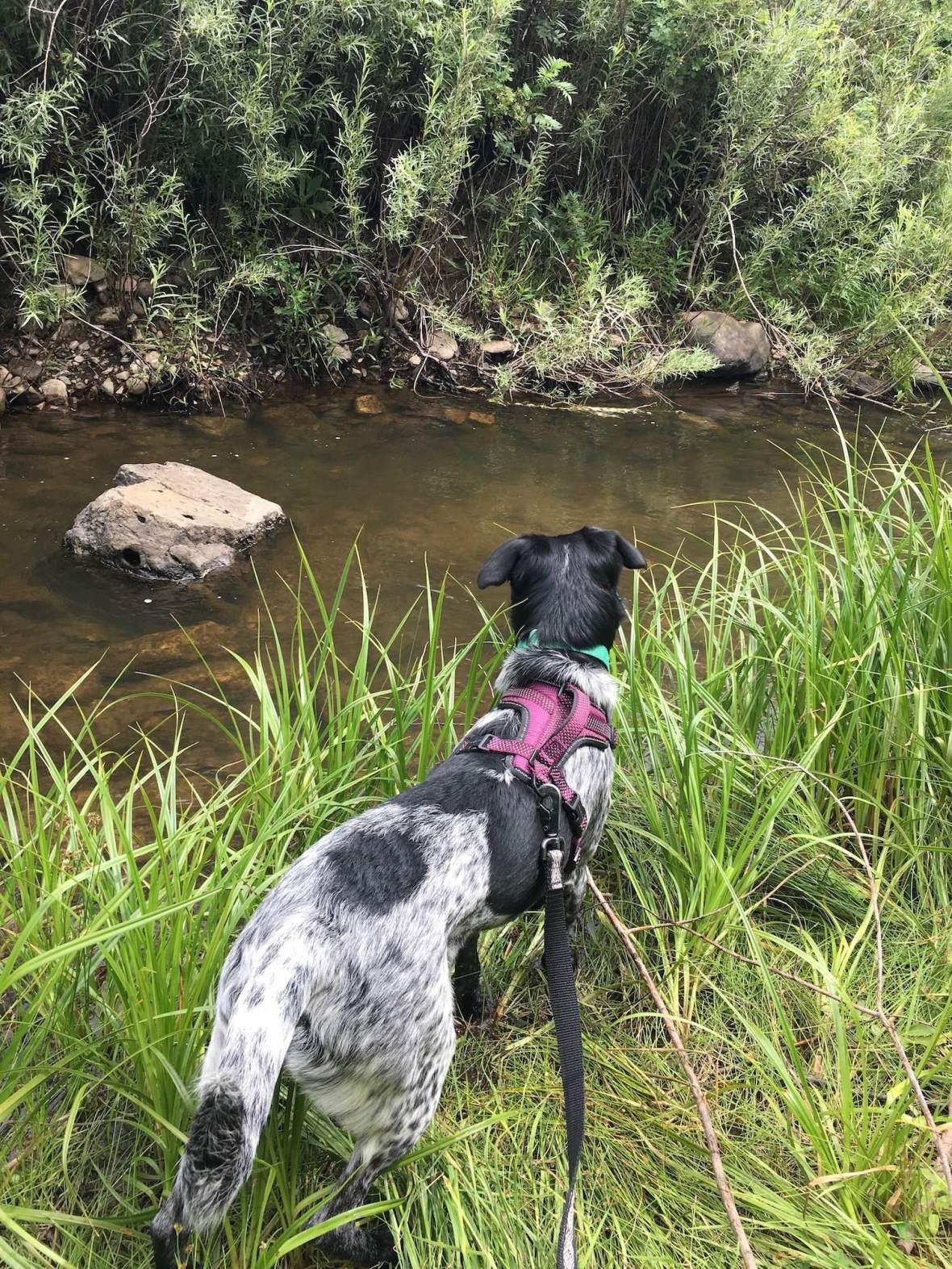 Juniper contemplating a dip in Coyote Creek