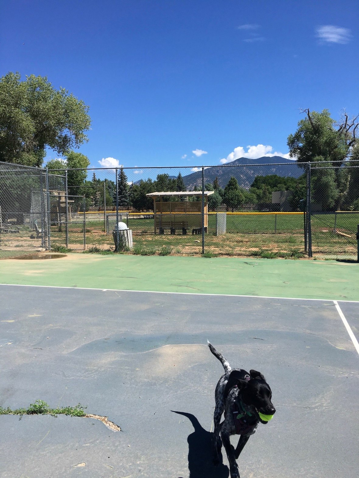 Juniper at Taos tennis court off-leash dog area at Kit Carson Park in Taos, New Mexico