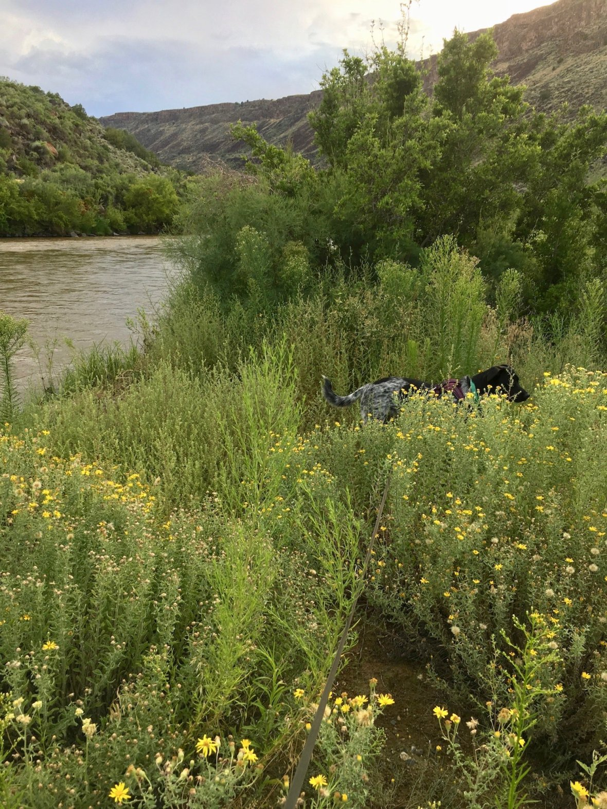 Juniper the Wonder Dog in the August wildflowers alongside the Rio Grande in Orilla Verde Recreation Area