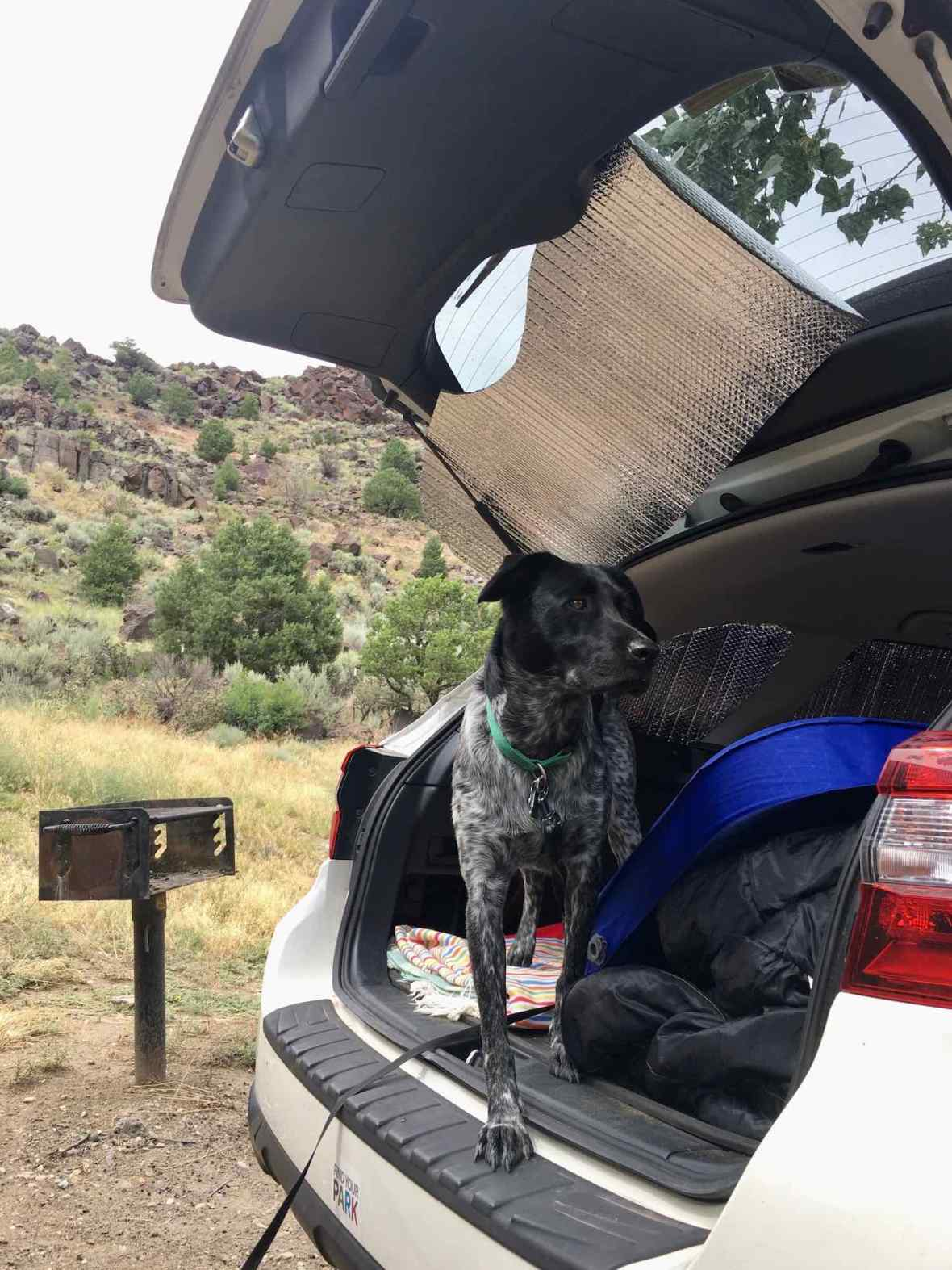 Juniper the Wonder Dog in the back of our Subaru Outback