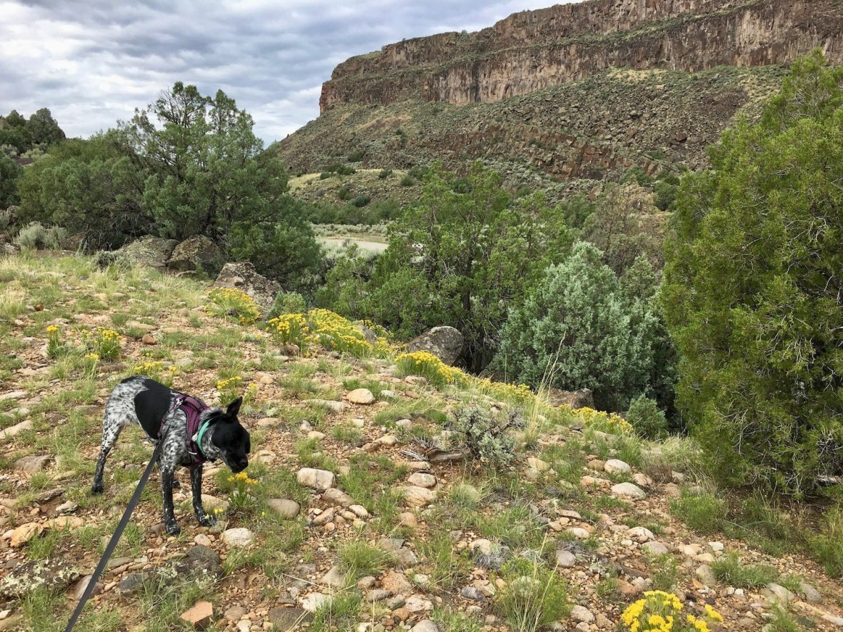 Juniper the Wonder Dog on the Vista Verde trail in Orilla Verde Recreation Area