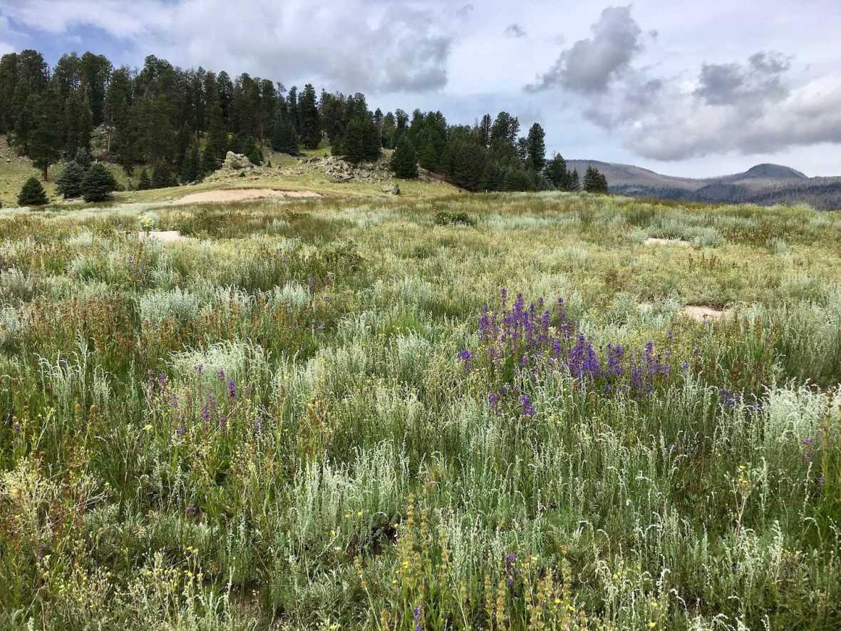 Cerro La Jara trail through Wildflower meadow in Valley Grande, Valle Caldera National Preserve