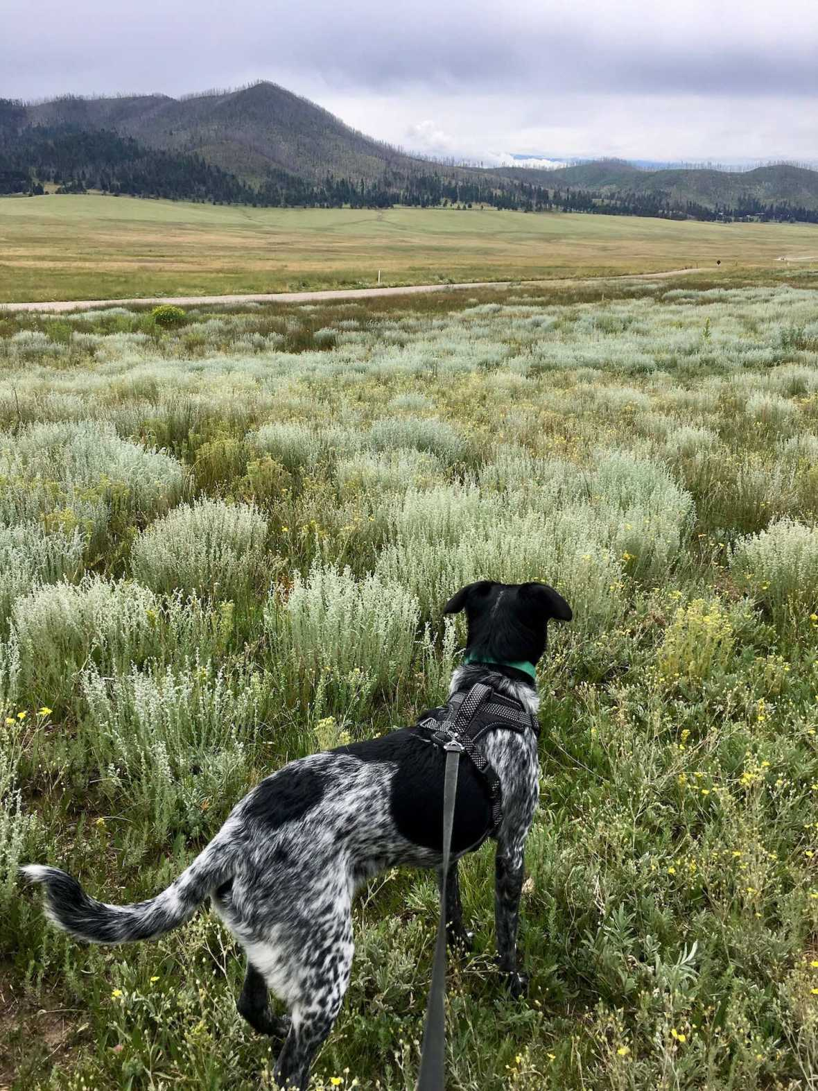 Juniper the Wonder Dog hikes through wildflower meadow on Cerro La Jara trail , Valle Caldera National Preserve