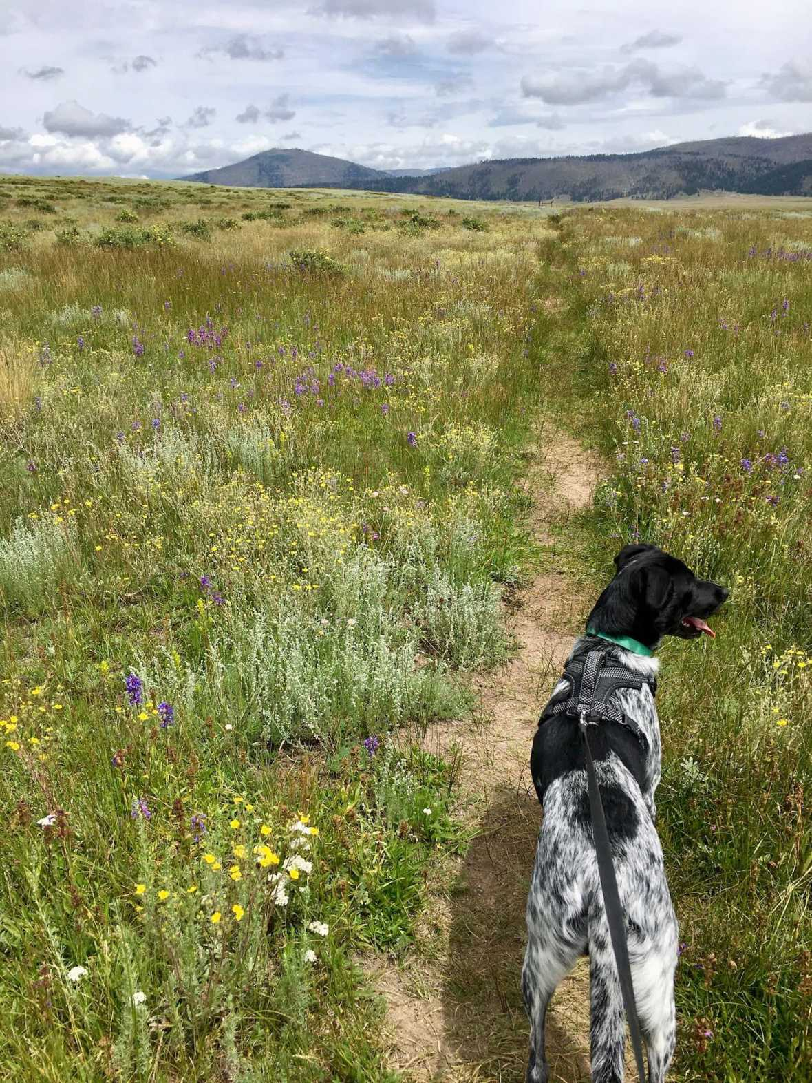 Juniper the Wonder Dog hikes through wildflower meadow on Cerro La Jara trail , Valle Caldera National Preserve
