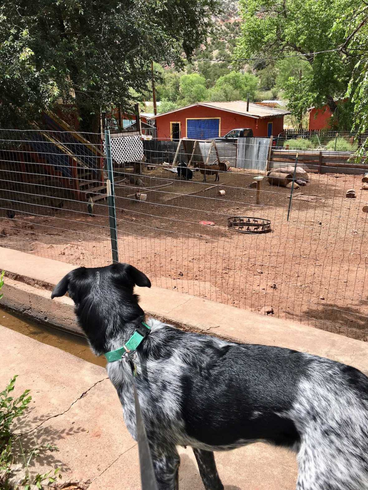 Juniper checks out the chicken and goat pen at Jemez Stage Stop Cafe in Jemez Springs, New Mexico