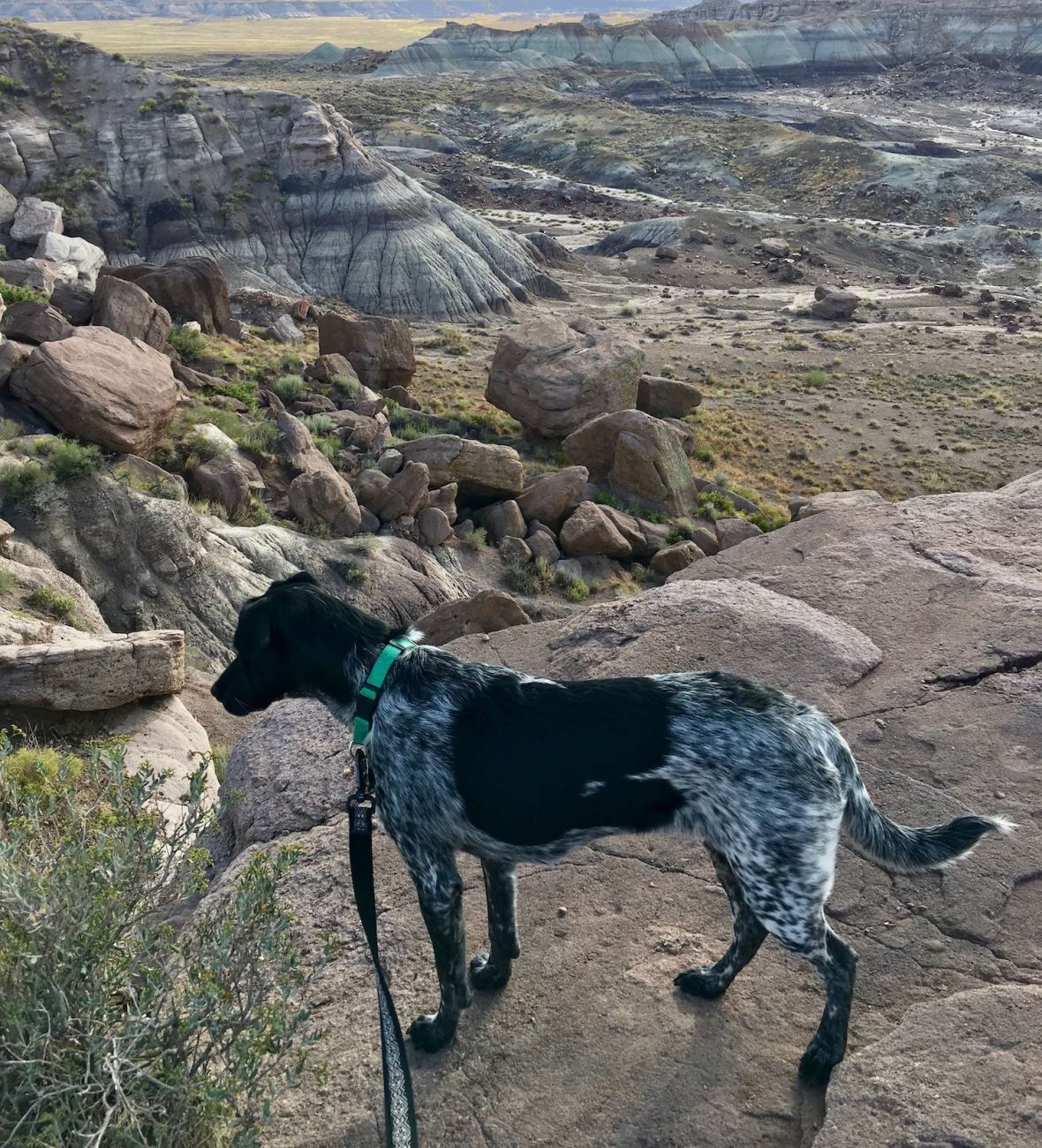 Juniper the Wonder Dog overlooks Jasper Forest in Petrified Forest National Park