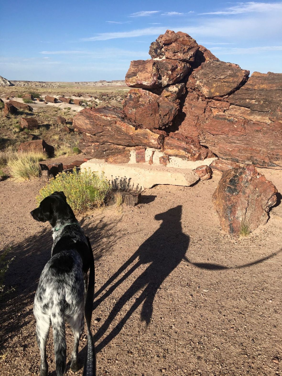 Juniper walking among the massive petrified trees at Rainbow Forest in Petrified Forest National Park